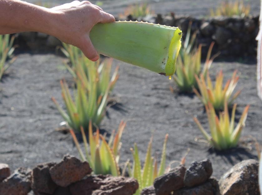 Frischer Schnitt Aloe